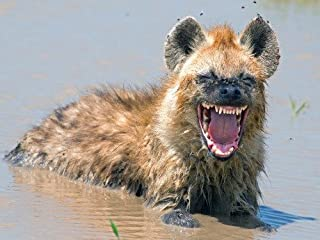 ConversationPrints HYENA GLOSSY POSTER PICTURE PHOTO PRINT BANNER laughing hyenas scavengers