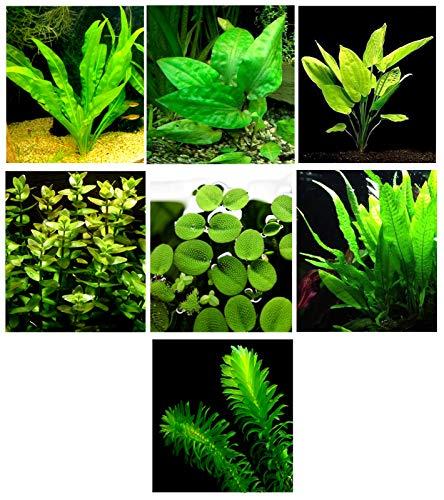 15 plantes d'aquarium vivantes / 7 types différents – Combo personnalisé (Anubias, Amazon Sword, Java Fougère, mousse et bien plus encore) Excellent échantillon de plantes pour 4 à 5 gal. Réservoirs !