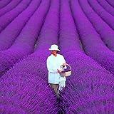 200 PC / bolso francés semillas de lavanda Provence muy fragantes semillas de lavanda orgánicos semillas de flor planta de jardín de Bonsai