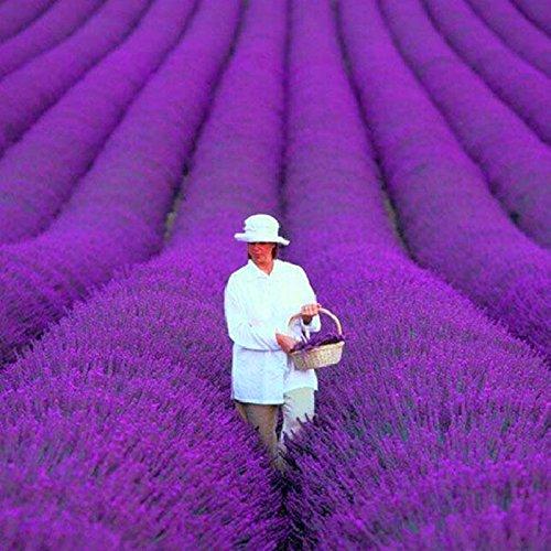 200 PCS / bag französisch Provence Lavendel Samen sehr aromatisch organischen Lavendel Samen Pflanze Blume Blumensamen Gartenbonsai