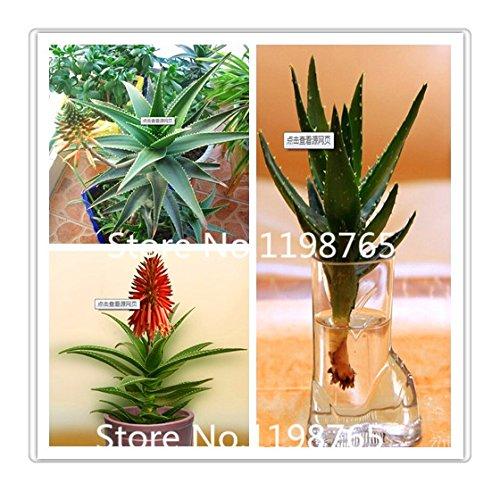 Succulentes semences, rotation des polyphylla MESA Aloe graines aloe vera queen, 100pcs / bag