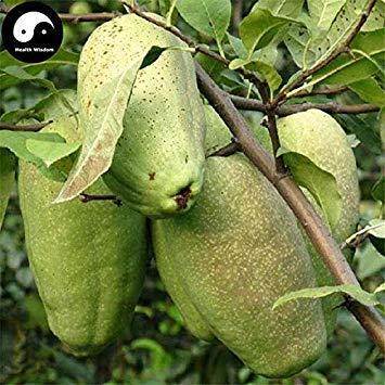 Keimfutter: 60pcs: Kaufen Chaenomeles speciosa Obst Pflanzen Floweringquince für Mu Gua