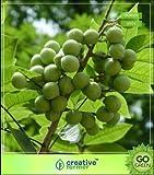 Hohe Wachstum Seeds Nicht NUR Pflanzen: Seed indus emarginatus bekannt als Soapberries oder...