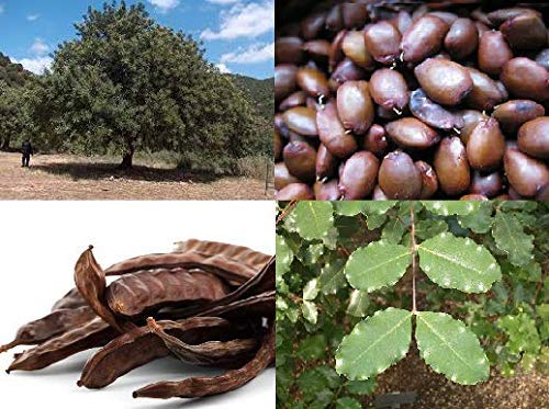 Portal Cool Algarrobo, Ceratonia siliqua, Ãrbol de chocolate auténtica de Creta, 60 semillas frescas
