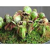Swiftt 10Pcs Venusfliegenfalle Samen Insektenfressende Pflanze Fleischfressende Pflanze Pflanzensamen
