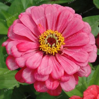 100PCS Zinnia Graines rares Variété chaleur Tolerant Jardin Fleur Plantes à fleurs en pot Charme chinois Fleurs Graines culture facile 6