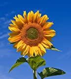 10 Sunflower Russian Giant Grey Striped Seeds - Helianthus Annuus - 10 Seeds - Free Delivery