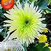 PlenTree New Seeds 2015!100 Semi Bicolore Verde Bianco crisantemo Semi di morifolio per Giardinaggio Fai da Te, Xn1He #1
