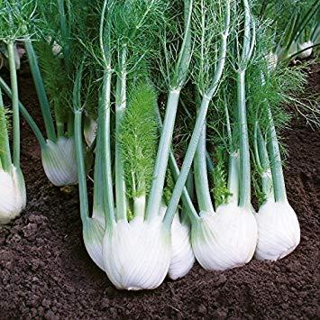 SANHOC Samen-Paket: Kings Seeds - Fenchel Rondo F1-125 SeedsSEED