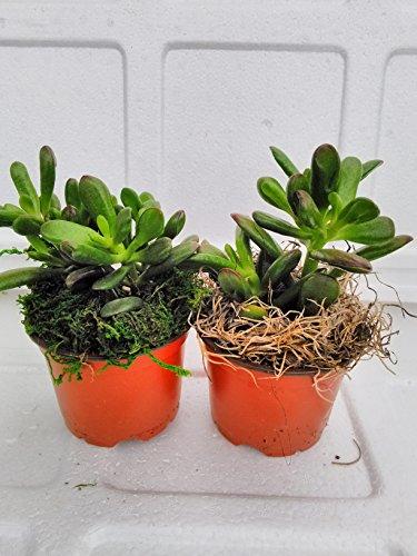 jm bamboo-Two Large Jade Plant with moss - Crassula ovuta - 4