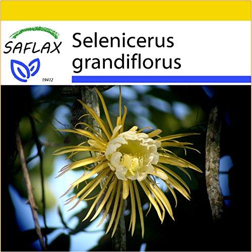 SAFLAX - Anzucht Set - Kakteen - Königin der Nacht - 40 Samen - Mit Mini-Gewächshaus, Anzuchtsubstrat und 2 Töpfen - Selenicerus grandiflorus