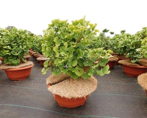 Ginkgo biloba 1 Mariken Fächerblattbaum T25 Bonsai-Rohware