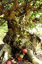 50+ Cluster Fig Tree Seeds - Ficus racemosa - Bonsai Goolar Gular USA - BKSeeds