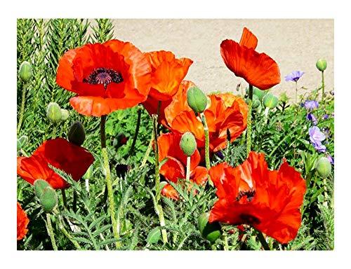 Klatschmohn - Mohn - Blume - 10000 Samen