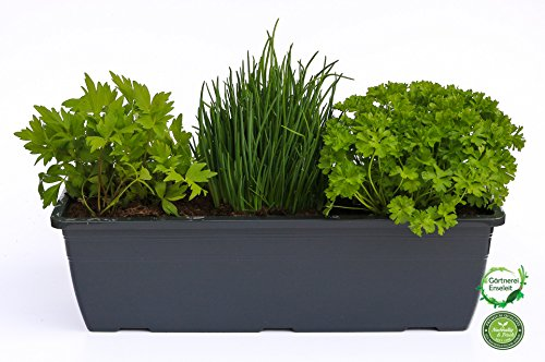 """Kräuterkasten für """"Salate & Suppen"""" 40cm Anthrazitkasten mit je 1er Kräuter Pflanze: Liebstöckel, Schnittlauch & Petersilie"""