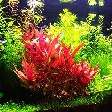 Alternanthera Reineckii 'Rosaefolia' - Live Aquarium Plant