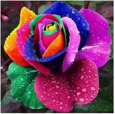 200pcs / pack Rare Pays-Bas Rainbow Rose Flower Seed Outdoor Blooming Bonsai Plante en pot décoratif Decor Garden Livraison gratuite 3