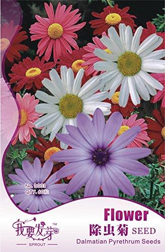 1 Packs originaux, 60 graines / paquet, frais Mix pyrèthre Robinsons Colorful Flowers Tanacetum Coccineum # NF134