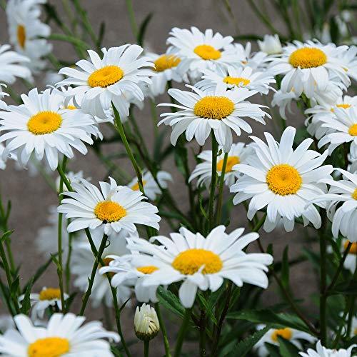 Outsidepride Chrysanthemum Shasta Daisy - 5000 Seeds