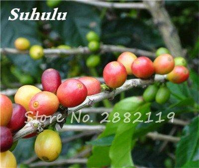 Coffea arabica Graines 10 Pcs grain de café Graines Tropical Bonsaï, vivace fruit caféier graines vertes alimentaires pour jardin