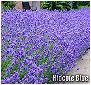 Lumos80 (50) Hidcote Blue Lavender Flower/Herb Seeds - Known for its Rich Essential Oil