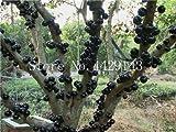 観賞用植物プリニアCauliflora盆栽100個ファミリーフトモモ科ジャボチカバ果樹工場ブラジルのブドウの木:4