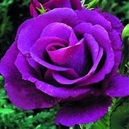 Inovey 100 Pcs Rare Rose Graines Mélangées Couleur Maison Jardin Pot De Fleurs Fleur De Décoration Bonsaï - 4
