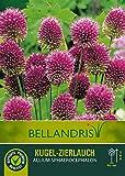 mgc24® Kugelförmiger Zierlauch Allium Sphaerocephalon - 20 Blumenzwiebeln