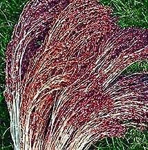 Best red broom corn grass Reviews