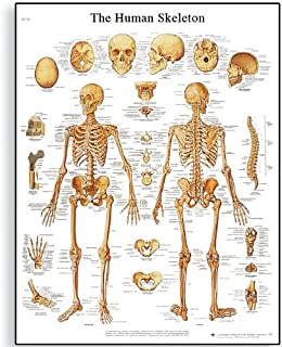 3B Scientific VR2113L Glossy UV Resistant Laminated Paper Le Squelette Humain Anatomical Chart (Human Skeleton Anatomical Chart, French), Poster Size 20