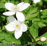 【紫桜館山の花屋】山野草:ニリンソウ(二輪草) 素掘り苗5株