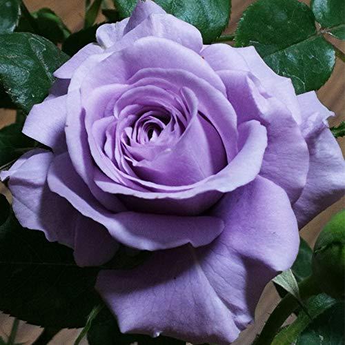 Hellpurpurne Rosensamen 100+ (Rosa rugosa Thunb) Einfach zu züchtende Rosenblüte Hochwertige frische Pflanzensamen zum Pflanzen von Gärten im Freien (Masdar)
