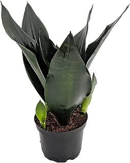 Black Dragon Snake Plant - Sansevieria - Almost Impossible to Kill - 6