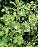 1 Pittosporum Tenuifolium Plant Great for Garden Rare #TMB30