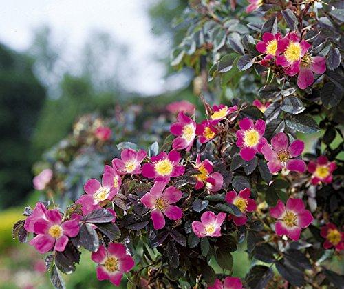 Rosa glauca, Hechtrose, Wildrose, Wurzelware