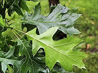Black Oak Tree - Quercus Velutina - Heavy Established Roots - 1 Trade Gallon Potted - 1 Plant by Growers Solution