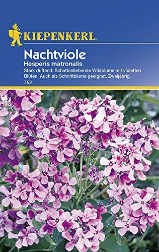 Nachtviole Hesperis matronalis von Kiepenkerl