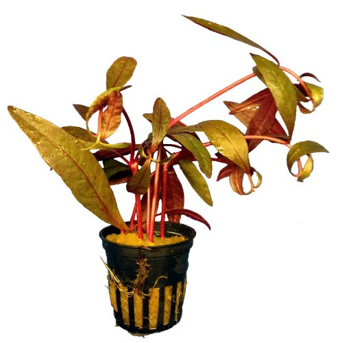 1 Topf Alternanthera Sessilis. sitzendes Papageienblatt, Aquarium-Pflanzen
