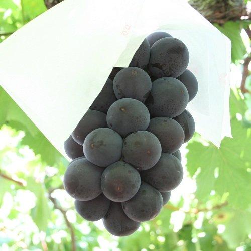 (4kg箱) 藤稔 種なしの大粒黒ぶどう ただ今人気急上昇中の最高級品種