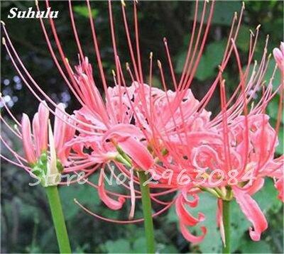 Big Sale! 100 Pcs Red Lycoris Graines Plante en pot Lycoris Radiata Graines de fleurs Plantation vivace intérieur Fleurs Bonsai Graine de plantes 11