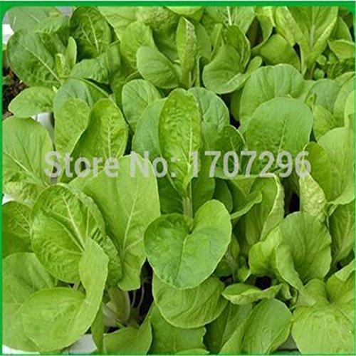 Feuilles jaunes graines de chou chinois - 100 pcs / lot