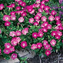 Park Seed Rosy Dawn Easy Wave Hybrid Petunia Seeds
