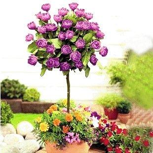 100 rares graines d'arbres de rose chinoise ont augmenté graines, couleur bonsaï arbres roses semences, graines de plantes