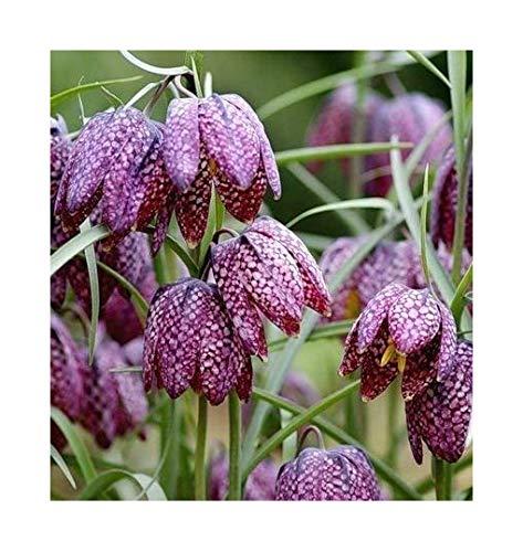 Schachblume - Schachbrettblume - Fritillaria meleagris - 10 Samen