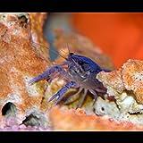 *Zierfischtreff.de Procambarus alleni - Blauer Floridakrebs inkl. Einer Futterprobe der Bayerischen Aquaristikmanufaktur