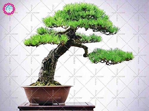 10pcs japanische Schwarzkiefer Samen Bonsai Innendekoration Garten, immergrün, ornamental stark Staudengarten Samen
