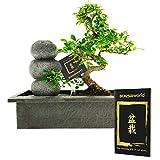 Bonsaiworld Bonsai-Set - Mit Steinen, Wasserfall & Feuchtigkeitsmesser - S-Form, ca. 10 Jahre alt - Pflegeleicht, tolle Dekoration für Wohnzimmer & Büro - Pflanzenhöhe: 30-35 cm
