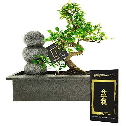 Bonsaiworld Zen Steinen Wasserfall - Bonsai Set mit Fließendes Wasser und ein Bonsai-Buch - Bonsai ca. 10 Jahre alt (Pflanzenhöhe: ca. 30 cm) - Pflegeleicht, tolle Dekoration für Wohnzimmer & Büro