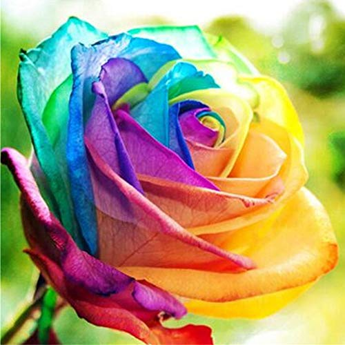 Rose Samen, SummerRio Blumensamen Blumen Saatgut Seeds Regenbogen Rose Bunt Pflanze Garten Rarität Frisch Neuheit 100 stücke