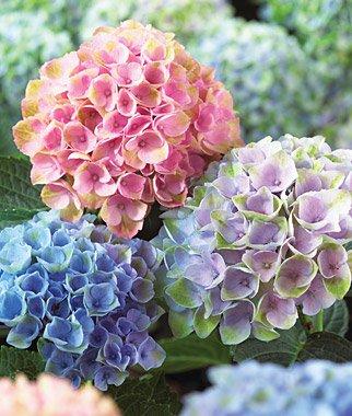 Hydrangea, Mixed Hydrangea Seeds - Treasuresbylee - 50